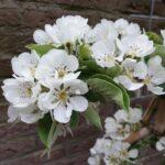 perebloesem, achtertuin, lente, witte pracht