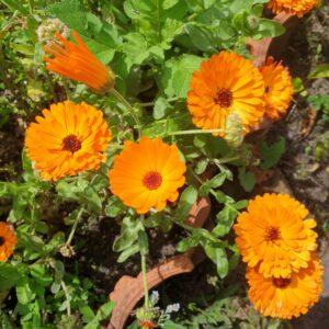 rijke bloei, oranje, vrolijk