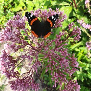 vlinder, bloei, roze, tros bloemetjes,