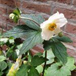 anemoon, achtertuin, Zorg In De Tuin, bloeien,