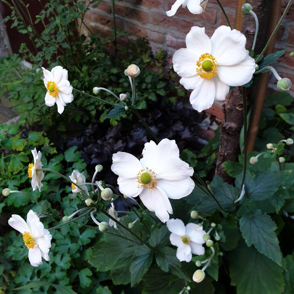 Anemonen in de achtertuin als inspiratie voor Zorg In De Tuin